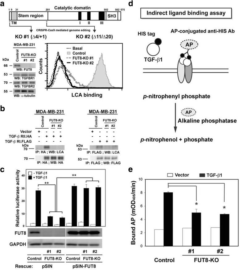 Fucosyltransferase 8 (FUT8) knockout impairs transforming growth factor-β1 (TGF) ligand binding and decreases TGF-β downstream signaling in MDA-MB-231 cells. a Establishment of FUT8-knockout (KO) MDA-MB-231 cells by CRISPR-Cas9-mediated genome editing. Two independent KO #1 and #2 clones targeting exon 3 or 6 of FUT8 were established (upper panel). The deletion of FUT8 and loss of core fucosylation were confirmed by western blot (lower-left panel) and LCA binding assay (lower-right panel) in MDA-MB-231 cells. Of note, FUT8 inactivation did not affect the expression of TGF-β RI or RII protein (lower-left panel). b Core fucosylation of TGF-β RI and RII protein were eliminated by FUT8 KO. Recombinant TGF-β RI and RII proteins produced in the control or two FUT8-KO MDA-MB-231 cell lines were probed with biotinylated Lens culinaris lectin (LCA), then detected by streptavidin-conjugated horseradish peroxidase. c Reporter assay with a TGF-β1-responsive luciferase reporter, 3TP-lux, showed significantly reduced TGF-β1-mediated signaling in FUT8-KO cells, which was rescued completely by FUT8 overexpression. d Schematic figure showing the indirect ligand binding assay. HEK-293 T cells were transfected with empty vector or the expression plasmid encoding HIS-tagged TGF-β1 (HIS.TGF-β1) protein. After 2 days, conditioned medium were added to MDA-MB-231 cells endogenously expressing TGF-β receptors. Bound HIS.TGF-β1 protein was quantified by the alkaline phosphatase (AP)-conjugated anti-HIS antibody reacting with its colorimetric substrate p-nitrophenyl phosphate. e FUT8 knockout reduced TGF-β1 ligand binding. Data are mean ± SD. * P