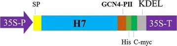 Construct for expression of trimeric Haemagglutinin in plants. H7 was expressed in tobacco leaves under the control of the CaMV 35S promoter. H7 was fused with trimeric motif GCN4-pII to form H7-pII. Recombinant H7 contained His and c-myc tags for affinity chromatography purification and Western blotting, respectively. The LeB4 signal peptide and KDEL motif were used to ensure ER retention. 35S-P: CaMV 35 S promoter; SP: legumin B4 signal peptide; H7: haemagglutinin A/H7N9; GCN4-pII: trimeric motif; His: His-tag; 35S-T: CaMV 35S terminator