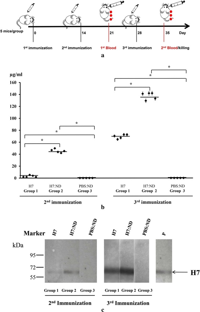 Immunopotentiation following immunization with an H7:ND (1/12, w/w) conjugate. a Immunization scheme in mice. b Measurement of H7 specific IgG amount in mouse sera via ELISA. In total, 50 ng of purified H7 [Influenza antigen A/Anhui/1/2013 (H7N9), NIBSC] per well were coated at the plate. The sera were diluted 1:5000 and a monoclonal mouse anti- H7N9 haemagglutinin/HA antibody (SinoBiological InC.) at concentrations of 0.5, 0.75, 1, 1.25, 2.5, 5, 12.5, 25, 50, 100, 150 μg/mL was applied as a standard, then analysed via ELISA. Specific immune responses were measured at 450 nm after 1 and 2 booster immunizations with H7 (group 1), H7:ND (group 2) and PBS:ND (group 3). The responses were recalculated according the standard values as µg/mL anti H7N9 antibody in the sera. The BSA background was subtracted. A standard curve was built by the help of OD450 values corresponding to known amounts of H7N9 haemagglutinin/HA antibody. The amount of H7 specific IgG antibody in mouse sera was measured via the standard curve. Statistical analyses were performed using the t-test (SigmaPlot) and are presented. A single dot indicates the value of a single mouse serum. SD was included on a single dot that corresponds to an ELISA data variation of a single mouse serum with three replications. The bars indicate the average value of the test groups. P