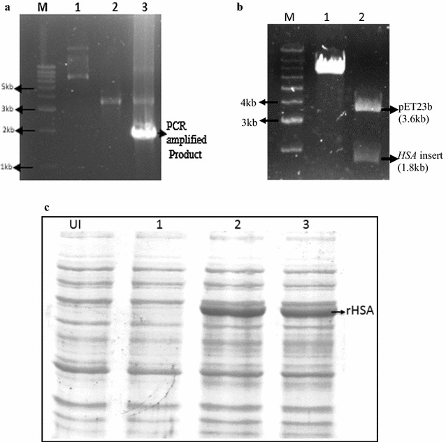 Cloning of HSA . a 1% agarose gel showing amplified PCR product and pET23b vector. Lane M, 1 kb DNA ladder; Lane 1, Uncut pET23b plasmid; Lane 2, a double digested pET23b vector with Nhe I and Xho I restriction enzymes; Lane 3, PCR amplified a product of HSA gene at an optimized annealing temperature of 58 °C. b 1% agarose gel showing the release of HSA gene after double digestion of constructed pETHSA vector with Nhe I and Xho I restriction enzymes. Lane M, 1 kb DNA ladder; Lane 1, Undigested pETHSA plasmid; Lane 2, digested pETHSA construct. c 12% SDS PAGE showing expression of rHSA in different strains of E. coli . Lane UI, Uninduced cells; Lane 1, Induced BL21 (DE3) E. coli cells; Lane 2, Induced Rosetta (DE3) E. coli cells; Lane 3, Induced Origami2 (DE3) E. coli cells