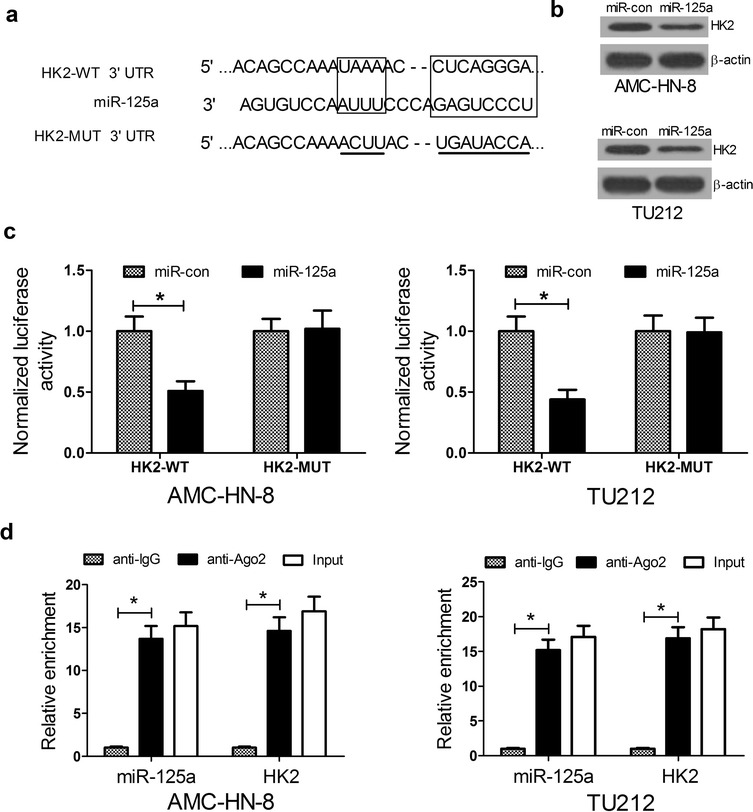 HK2 is a target of miR-125a. a The putative binding sites of miR-125a on the 3′ UTR of HK2. b The protein levels of HK2 in <t>AMC-HN-8</t> and TU212 cells 48 h after miR-125a transfection. c Relative activity of luciferase reporters with HK2 3′ UTR after co-transfection with miR-125a mimics in AMC-HN-8 and TU212 cells. d Cellular lysates from AMC-HN-8 and TU212 cells were used for RNA immunoprecipitation <t>(RIP)</t> with Ago2 antibody. miR-125a and HK2 mRNA were detected using qRT-PCR. * P