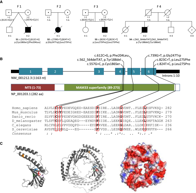 C1QBP Variants and Gene and Protein Structure (A) Pedigrees of the investigated families (S1–S4) affected by recessively inherited C1QBP variants. Affected individuals are indicated by closed symbols. Both variants in proband S2 have been confirmed to be compound heterozygous by phasing of WES data. (B) Gene structure with exons and introns shows the localization of the investigated gene variations. Conservation of the affected amino acid residues is presented in the alignment of homologs across different species. Exons are highlighted in blue. The size of the introns was reduced 10-fold. MTS is the mitochondrial target sequence. MAM33 (mitochondrial acidic matrix protein 33) is the Saccharomyces cerevisiae homolog of C1QBP. (C) Inspection of the protein structure was performed with PyMOL (PDB: 1P32 ). A monomer is presented on the left, and the trimer is in the center. The electrostatic field of the trimer is indicated to the right (negative polarity, red; positive polarity, blue). Affected residues are colored in one of the monomers: Cys186, green; Tyr188, blue; Phe204, red; Gly247, magenta; and Leu275, orange.