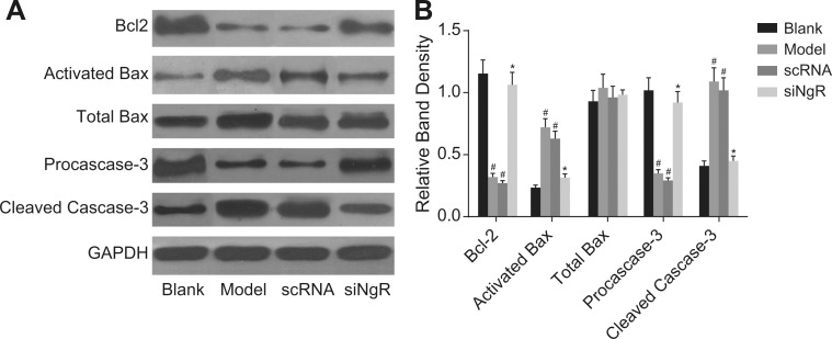 The effect of NgR silencing on expression of apoptosis-related proteins in NMDA-treated mRGCs ( A ) Western blotting analysis of Bcl-2, activated Bax, total Bax, pro-caspase3 and cleaved caspase3 in the 4 mRGC groups after culturing for 3 days. ( B ) The relative expression of the apoptosis-related proteins (Bcl-2, activated Bax, total Bax, pro-caspase3 and cleaved caspase3) normalized to GAPDH expression is shown. # P