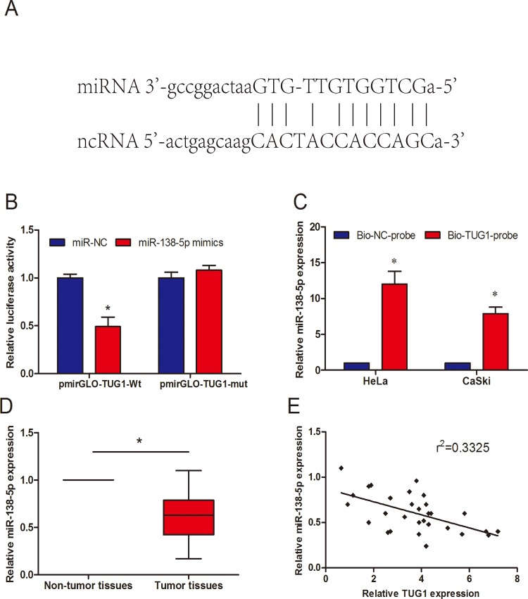 Validation of TUG1 as a direct target of miR-138-5p (A) The sequences of the predicted miR-138-5p binding site and the TUG1 segments containing the wild type binding site are shown. (B) Dual-luciferase reporter assay revealed that miR-138-5p mimics decreased luciferase activity of pmirGLO-TUG1-Wt, but not of pmirGLO-TUG1-mut. (C) Detection of miR-138-5p using qRT-PCR in the sample pulled down by <t>biotinylated</t> TUG1 probe. (D) miR-138-5p expression in 30 paired of cervical cancer tissues was measured by qRT-PCR. (E) The correlation analysis was performed between TUG1 expression and miR-138-5p in cervical cancer tissues. *P