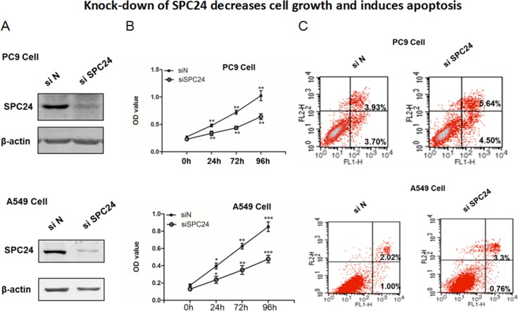Knocking down SPC24 represses cell growth and promotes apoptosis in lung cancer cell lines ( A ) SPC24 was knocked down by siRNA in PC9 and A549 cells. Western blot of SPC24 was analyzed in the knockdown (si SPC24 ) and control (siN) cells. ( B ) Cell growth for SPC24 -knockdown and control cells was measured as viable cell numbers that was recorded as OD 450 at 0, 24, 72, and 96 h. ( C ) Apoptosis was recorded for knockdown and control cells by flow cytometry analysis of Annexin V-FITC-Propidium Iodide (PI) stained populations.