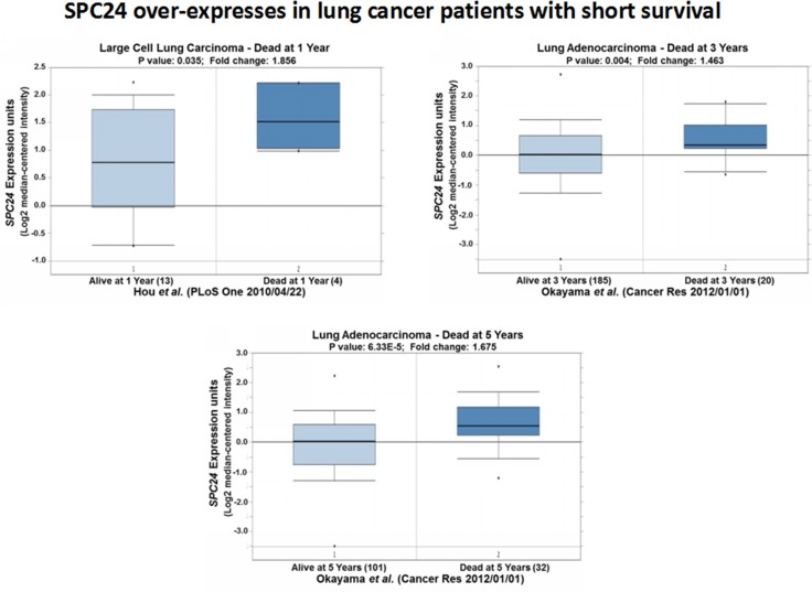 SPC24 over-expression is associated with lung tumors from patients with short survival Oncomine boxed plots of SPC24 levels in lung adenocarcinomas from patients who died at 1, 3, or 5 years after diagnosis, compared with those who were still alive at the same time point.