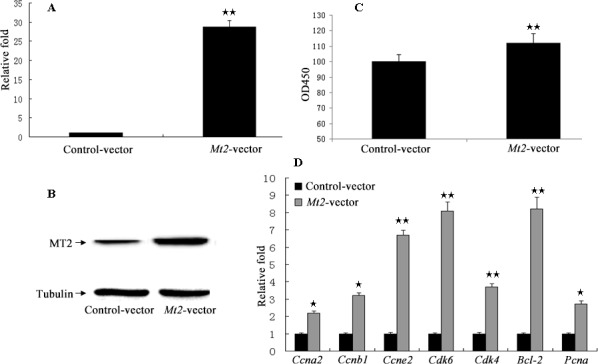 The cell proliferation assay after  Mt2  overexpression in GC-1 spg cells Overexpression plasmid of  Mt2  was constructed using pCMV6 plasmid. Plasmid was transfected into GC-1 spg cells with Lipofectamine 2000. Both mRNA ( A ) and protein ( B ) of  Mt2  were increased in cells with  Mt2  overexpression. Furthermore, cell proliferation assay showed that  Mt2  overexpression promoted cell proliferation and the expression of genes associated with cell proliferation ( C, D ). ★ indicates significant differences ( p