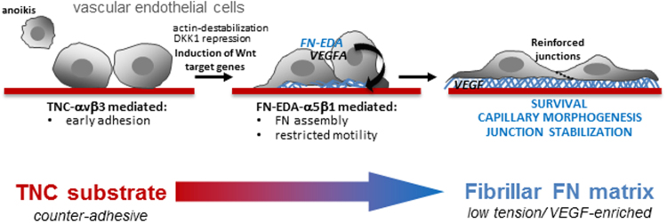 Schematic of TNC-regulated pro-angiogenic signalling in endothelial cells. TNC inhibits endothelial cell adhesion, spreading and stress fibre formation (F-actin polymerization). This effect can lead to anoikis, or be counterbalanced by upregulation of Wnt target genes including FN and VEGFA. Autocrine FN (EDA) drives α5β1-dependent FN fibrillogenesis, promotes junction stabilization and impacts capillary morphogenesis.