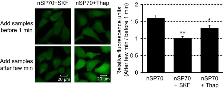 Determination of the underlying mechanism of promotion of calcium flux by nSP70. To determine the mechanism by which nSP70 promotes calcium flux, we analyzed the effects of a calcium channel or pump inhibitor, SKF96365 (SKF) or thapsigargin (Thap), on calcium flux. The cells were pretreated with each inhibitor for 2 h. They were then treated with Fluo-4 AM mixture for 30 min before the addition of nSP70. The intensity of intracellular green fluorescence was observed from 1 min before until 20 min after treatment with nSP70. Fluorescence of Fluo-4 was excited at 473 nm and emission was detected at 516 nm. The assay was performed in 3–5 independent experiments; *P