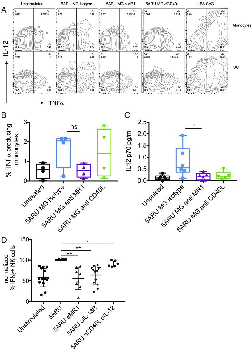 ( A ) FACS dot plots showing intracellular expression of IL-12 and TNF-α in monocytes and DCs (gated as in Fig. 6 , Supplemental Fig. 4 ), 16 h after incubation with 5-A-RU/MG in the presence or absence of anti-MR1 or anti-CD40L blocking Abs. Profiles of LPS- and CpG-stimulated cells are shown as positive control. ( B ) Cumulative data for the intracellular TNF-α expression described in (A). Data are depicted as box-and-whisker plots, with all points indicated ( n = 4). ( C ) IL-12p70 detected by Simoa immunoassay in whole blood stimulated for 16 h with 5-A-RU/MG in the presence or absence of anti-MR1 or anti-CD40L blocking Abs. Cumulative data ( n = 6; n = 5 for anti-CD40L) are depicted as box-and-whisker plots, with all points indicated ±SD. ( D ) PBMCs were stimulated with 5-A-RU/MG in the presence or absence of blocking Abs to MR1 ( n = 8), IL-18R ( n = 14), and IL-12 and CD40L ( n = 6), and the percentage of IFN-γ–secreting NK cells was determined by FACS after 16 h. The response with Ag was normalized to 100%; we observed background IFN-γ in the majority of the donors tested. Each symbol represents a donor. * p