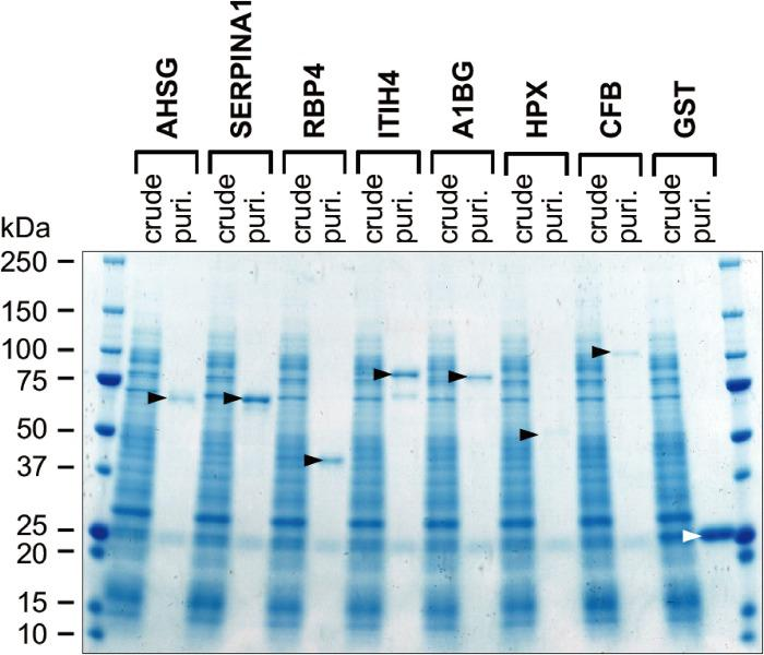SDS-PAGE profiles of human WN1316-activating factor candidates synthesized in the cell-free system. The reaction mixture of GST protein synthesis (crude) and the GST protein after glutathione-Sepharose 4B column purification (puri.) were resolved on a 5–20% gradient SDS–PAGE gel, and gel was stained with Coomassie blue. Black arrowheads indicate synthesized GST fusion WN1316-activating factors. White arrowhead indicates GST used as a negative control.