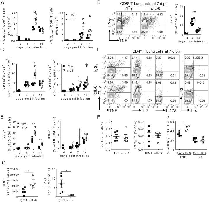 IL-6 depletion results in enhanced virus specific T cell responses. 8 week old BALB/c mice were infected with 8 x 10 5 ffu of RSV A2 i.n. and given 0.5 mg of either HRPN (IgG 1 ) or MP5-20F3 (αIL-6) i.p. on day -1 p.i. and 0.25 mg i.p. every other day after that. Mice were euthanized at days 4, 7 and 14 p.i. Flow cytometry was used to determine (A) the number of K b M2 82-90 + CD8 + T cells, (B) the proportion of IFN-γ + and TNF + lung CD8 + T cells following M2 82-90 stimulation, (C) the number of CD11a + CD49d + CD4 + T cells and (D-F) the proportion of IFN-γ + at different days p.i., and TNF + , IL-2 + , IL-17 + , IL-13 + and IL-4 + CD4 + T cells at day 7 p.i. following stimulation with RSV F 51-66 , P 39-55 and G 181-197 peptides ex vivo in the lungs and lymph nodes. (G) IFN-γ and IL-17 were measured in lung tissue at day 7 p.i. by ELISA. Representative FACS plots are lungs at day 7 p.i.. Data is representative of n = 2 independent repeats of n = 5 mice per time point.