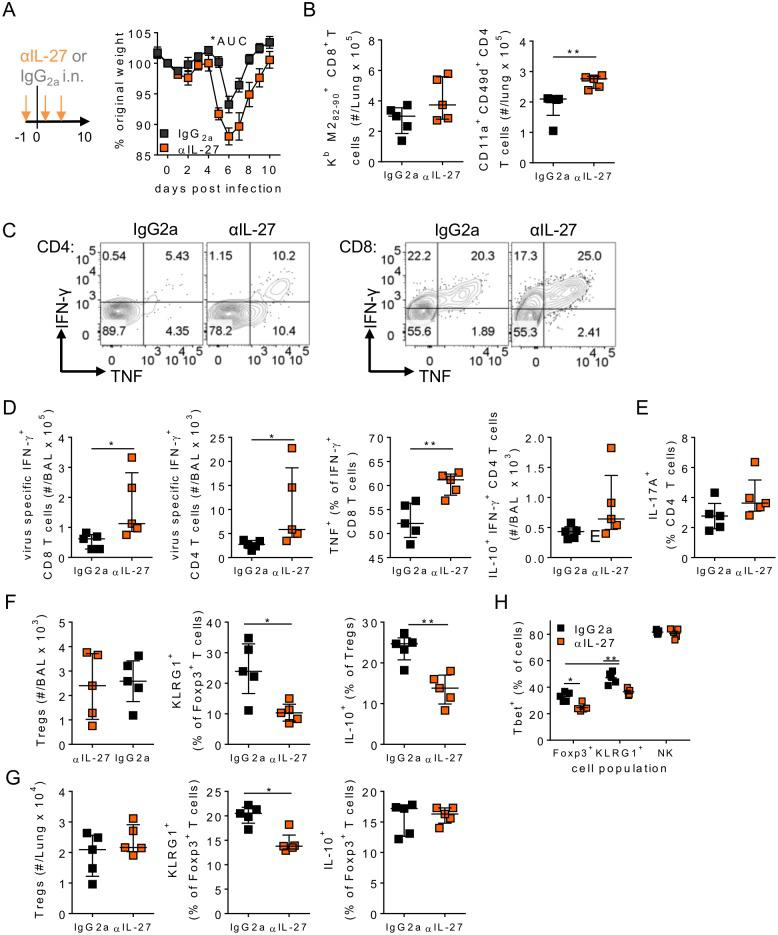 Airway IL-27 promotes virus specific T cell suppression in respiratory viral infection. 8 week old BALB/c mice were infected with 8 x 10 5 ffu of RSV A2 and dosed with either αIL-27 or isotype control antibody i.n. between days -1 and 3 p.i. (A) Weight was measured daily. (B-H) At day 10 p.i. mice were euthanized and (B) Lung virus specific CD8 and CD4 T cell responses, (C-D) airway virus specific production of IFN-γ, TNF and IL-10 by CD4 and/or CD8 T cells, (E) IL-17A + CD4 + T cells following polyclonal stimulation, (F) airway and (G) lung Treg numbers and expression of KLRG1 + and IL-10 and (H) T-bet expression by lung Tregs, KLRG1 + Tregs and natural killer (NK) cells were all measured. For Treg IL-10 measurements cells were stimulated with PMA/I in the presence of BFA prior to intracellular staining. Data represents n = 5 mice per group and is representative of n = 2 independent experiments.