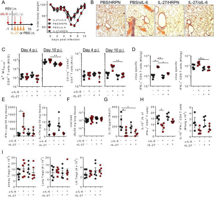 IL-27 promotes IL-6 dependent resolution of RSV disease. 8 week old BALB/c female mice were infected with 8 x 10 5 ffu of RSV A2 and dosed with either αIL-6 or isotype control antibody i.p. between days -1 and 3 p.i. (A) Mice received either rIL-27 or PBS i.n. on days 1–4 p.i. and were weighed until day 10 p.i. (B) Representative H E staining of lung tissue using a 10X objective at day 10 p.i., black bar represents 200 μm. (C) virus specific CD4 + and CD8 + T cells in the lung were enumerated at days 4 and 10 p.i. (D) At day 10 p.i. IFN-γ + CD4 and CD8 T cells in the lungs following RSV peptide simulation and (E) IFN-γ and IL-17A in lung homogenate were determined. At day 4 p.i. (F) Lung viral load, (G) IL-10 in the airways, (H) IL-10 + Tr1 cells and (I) Foxp3 + Tregs in the BAL, lungs and lung draining lymph nodes were determined. (A-E) Data representative of n = 5 mice per group from 2 independent experiments. (F) Represents n = 10 mice per group combined from 2 independent repeats. (G-I) Data represents n = 6 mice pooled from 2 independent repeats.