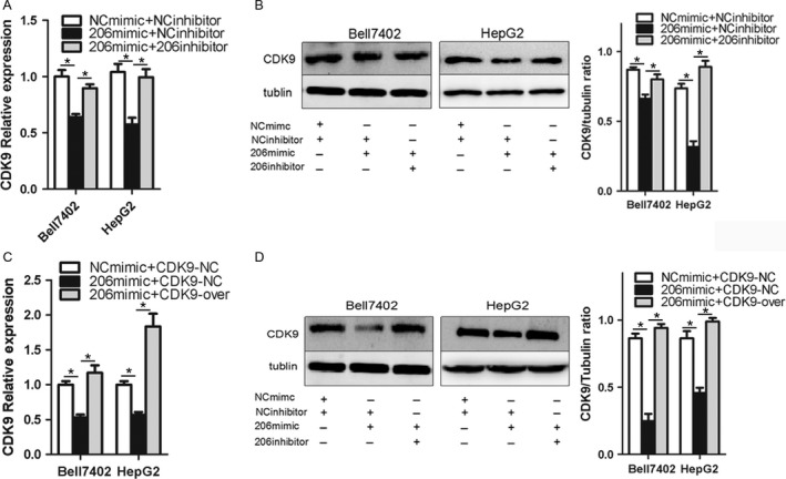 miR‐206 downregulates the expression of CDK9. Bell7402 and HepG2 cells were transfected with equal amount of indicated plasmids and/or RNA oligos for 24 h. Then the levels of CDK9 mRNA were assayed by qPCR (A, C) taking β‐actin as a control, and the protein level of CDK9 was detected by western blot (B, D) taking tubulin as the loading control. * P