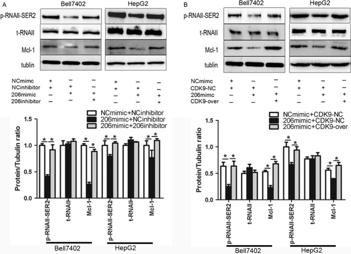 miR‐206 blocks the activation of RNA polymerase II. (A) Bell7402 and (B) HepG2 cells were transfected with indicated plasmids and/or RNA oligos for 48 h, then p‐RNAII, t‐RNAII, and MCL‐1 were measured by western blot taking tubulin as the loading control. p‐RNAII‐ser2, phospho‐RNA polymerase II ser2; t‐RNAII, total‐RNA polymerase II. * P
