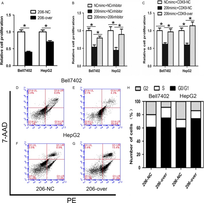 miR‐206 inhibits the proliferation, induces apoptosis, and cell cycle arrest in HCC cells. (A) Bell7402 and HepG2 cells were transfected withGV251‐miRNA‐206 and screened with G418 for 2–4 weeks to establish the stable cell lines.(B and C). Bell7402 and HepG2 cells were seeded in 96‐well plates after transfected with indicated plasmids and/or RNA oligos for 48 h. Then the CCK‐8 assays were performed for evaluating the cell proliferation. The apoptosis (D–G) and cell cycle phase distribution (H) were detected by flow cytometry. * P