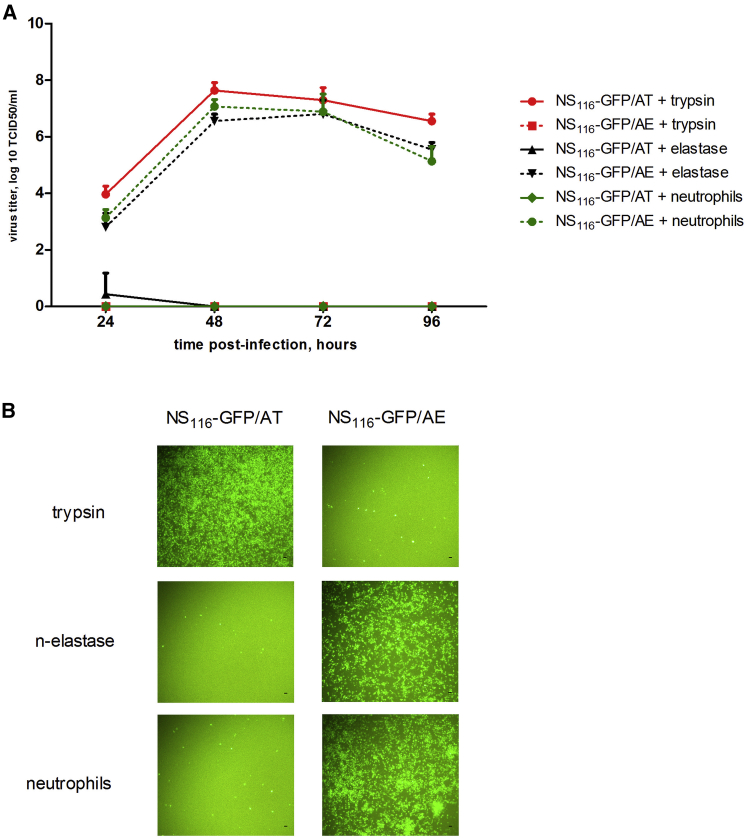 Growth Properties of NS 116 -GFP/AE and NS 116 -GFP/AT Virus in Vero Cells in Co-culture System with Human Neutrophils or Supernatant Supplemented with Neutrophil Elastase or Trypsin (A) Vero cells were infected at an MOI of 0.01 under indicated condition and viral titer was determined by TCID 50 24 hr post-infection. Data represent means + SEM (n = 3). (B) Virus induced GFP expression, which indicates viral growth. The pictures of infected Vero cells were taken 48 hr post-infection using an AxioCam ICc3 Rev.2-3 camera, with a magnification of 200×. Experiments were carried out three times with neutrophils of another proband, and the corresponding results are provided. Scale bar, 100 μm.