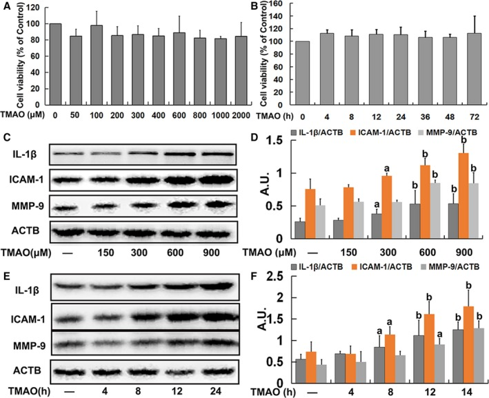 Trimethylamine‐N‐oxide ( TMAO )‐induced inflammation in endothelial cells. A, Human umbilical vein endothelial cells ( HUVEC s) were incubated with different concentrations of TMAO (50, 100, 200, 300, 400, 600, 800, 1000, and 2000 μmol/L) for 24 hours. Thereafter, cell viability was determined. B, Cells were treated with TMAO (600 μmol/L) for different time‐periods (4, 8, 12, 24, 36, 48, and 72 hours), and cell viability was detected. C, Cells were treated as described in A, and the expression of IL ‐1β, ICAM ‐1, and MMP ‐9 was detected via Western blot. D, Bar charts show the quantification of the indicated proteins. E, Cells were treated as described in B, and the expression of IL ‐1β, ICAM ‐1, and MMP ‐9 was analyzed via Western blot. F, Bar graphs show the quantification of the indicated proteins. Values are presented as means± SE (n=3); a P