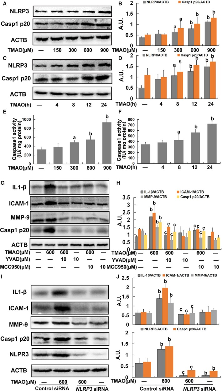 Trimethylamine‐N‐oxide ( TMAO )‐induced inflammation via nucleotide‐binding oligomerization domain–like receptor family pyrin domain–containing 3 ( NLRP 3) inflammasome activation in endothelial cells. A, Cells were treated with TMAO at a series of concentrations (150, 300, 600, and 900 μmol/L) for 24 hours, and the expression of NLRP 3 and caspase‐1 p20 was detected via Western blot. B, Bar charts showing quantification of endogenous NLRP 3 and caspase‐1 p20. C, Cells were incubated with 600 μmol/L TMAO for different time intervals (4, 8, 12, and 24 hours), and the expression of NLRP 3 and caspase‐1 p20 was detected via Western blot. D, Bar charts showing quantification of endogenous NLRP 3 and caspase‐1 p20. Cells were treated as described for A and B. Thereafter, caspase‐1 activity was measured using caspase‐1 activity kits (E and F). G, Cells were pretreated with YVAD (10 μmol/L) or MCC 950 (10 μmol/L) for 2 hours, and then exposed to TMAO (600 μmol/L) for a further 24 hours. Expression of IL ‐1β, ICAM ‐1, MMP ‐9, and caspase‐1 p20 was detected via Western blot. H, Bar charts showing quantification of the indicated proteins. I, Human umbilical vein endothelial cells ( HUVEC s) were transfected with NLRP 3 si RNA as described in Materials and Methods . After 24 hours, cells were incubated with TMAO (600 μmol/L) for 24 hours, and the expression of IL ‐1β, ICAM ‐1, MMP ‐9 and Casp1 p20 was detected via Western blot. J, Bar charts showing quantification of indicated proteins. Values are expressed as means± SE (n=3). a P