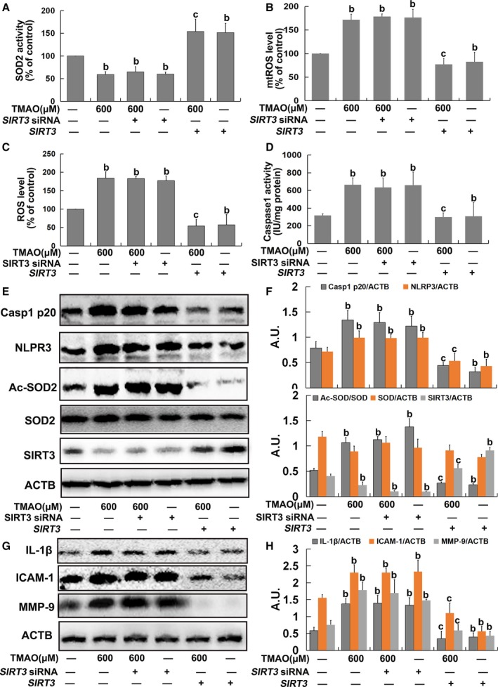 Trimethylamine‐N‐oxide ( TMAO ) induced mitochondrial reactive oxygen species (mt ROS ) accumulation via the sirtuin‐3–superoxide dismutase‐2 ( SIRT 3‐ SOD 2) pathway in endothelial cells. Human umbilical vein endothelial cells ( HUVEC s) were transfected with SIRT 3 si RNA or a plasmid overexpressing SIRT 3 as described in Materials and Methods . After 24 hours, cells were incubated with 600 μmol/L TMAO for 24 hours. A, Assay of SOD 2 enzymatic activity using SOD 1 and SOD 2 Assay Kits with WST ‐8 following the manufacturer's instructions. B, Detection of mt ROS levels with Mito SOX ™ Red. C, Detection of total ROS levels using DCFH ‐ DA . D, Measurement of caspase‐1 activity with a caspase‐1 activity assay kit. E, Western blot analysis of caspase‐1 p20, nucleotide‐binding oligomerization domain–like receptor family pyrin domain–containing 3 ( NLRP 3), Ac‐ SOD 2, SOD 2, and SIRT 3 contents. F, Bar graphs showing quantification of the indicated proteins. G, Western blot analysis of IL ‐1β, ICAM ‐1, and MMP ‐9 expression. H, Bar graphs showing quantification of the indicated proteins. Values are expressed as means± SE (n=3); b P