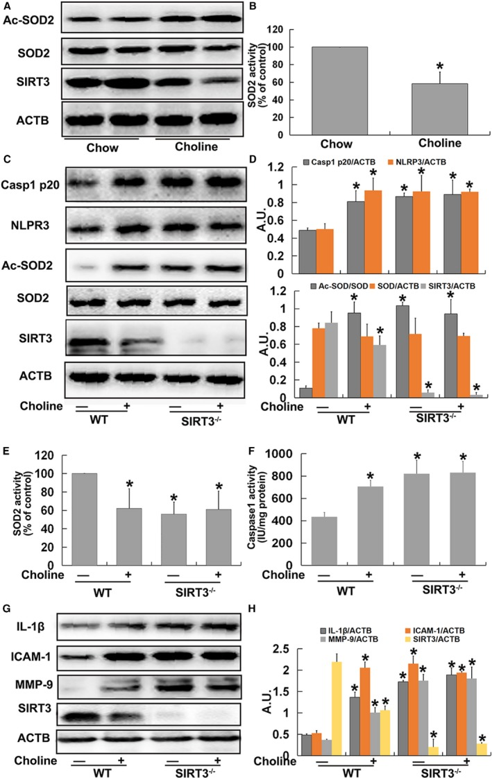 Trimethylamine‐N‐oxide ( TMAO ) induced vascular nucleotide‐binding oligomerization domain–like receptor family pyrin domain–containing 3 ( NLRP 3) inflammasome activation in a sirtuin‐3 ( SIRT 3)‐dependent manner in vivo. Eight‐week‐old female ApoE −/− mice were treated with or without 1% choline for 4 months. Mice were killed, and their aorta samples were collected immediately, snap‐frozen in liquid nitrogen, and stored at −80°C until required. A, Western blot detection of Ac‐ SOD 2, SOD 2, and SIRT 3 expression in aortas. B, Bar graphs showing quantification of the indicated proteins. Eight‐week‐old female wild type ( WT ) and SIRT 3 −/− mice were fed with or without 1% choline for 4 months. Mice were killed, and their aorta samples were collected immediately, snap‐frozen in liquid nitrogen, and stored at −80°C until required. C, Western blot analysis of caspase‐1 p20, NLRP 3, Ac‐ SOD 2, SOD 2, and SIRT 3 contents in aortas. D, Bar graphs showing quantification of the indicated proteins. E, SOD 2 enzymatic activity in aortas was assayed using a SOD 1 and SOD 2 Assay Kit with WST ‐8 following the manufacturer's instructions. F, Measurement of caspase‐1 activity in aortas. G, Western blot analysis of IL ‐1β, ICAM ‐1, MMP ‐9 and SIRT 3 expression. H, Bar graphs showing quantification of the indicated proteins. Values are expressed as means± SE (n=10); * P