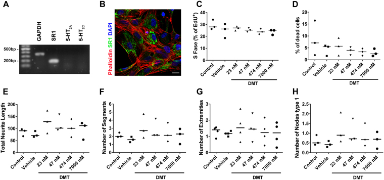 Effects of 5-MeO-DMT on hNPCs. (A) Expression of mRNA for internal control (GAPDH), SR1, 5-HT 2A , and 5-HT 2C in hNPCs. (B) Confirmation of σ-1R protein (green) expression by immunocytochemistry, phalloidin showing the cytoskeleton (red) and DAPI staining nuclei (blue), scale bar 20 μm. (C) Quantification of cell proliferation based on EdU staining after treatment with 5-MeO-DMT. (D) Percentage of dead cells in hNPCs treated with 5-MeO-DMT. (E–H) Effects of 5-MeO-DMT on neuronal arborization by quantification of (E) total neurite length (sum of the length of all neurites attached to the cell), (F) number of segments, (G) number of extremities, and (H) number of nodes type 1. Bar represents median. Data were analyzed by one-way ANOVA with Tukey's multiple comparison test, and only p-values
