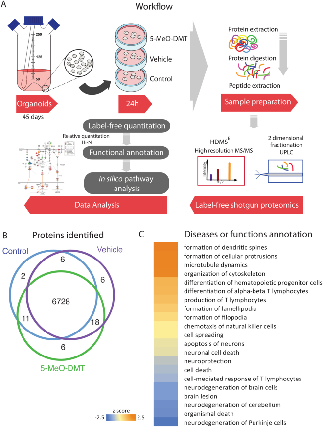 5-MeO-DMT treatment effects on human cerebral organoid proteomics. (A) Experimental design workflow. 45-day-old cerebral organoids were treated with either 5-MeO-DMT, vehicle, or left untreated for 24 h. Samples were analyzed using label-free state-of-the-art quantitative proteomics, using two-dimensional fractionation and high-resolution mass spectrometry. Workflow art was modified from 29 . (B) Venn diagram comparing the number of proteins identified by shotgun mass spectrometry in control human cerebral organoids, those treated with vehicle (EtOH), and 5-MeO-DMT. (C) Heat map showing significant functional enrichment between 5-MeO-DMT versus vehicle human cerebral organoids.