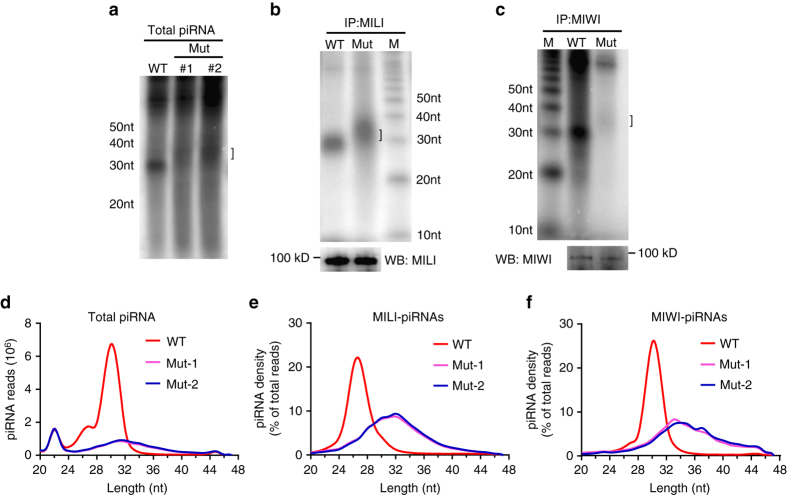 Increased piRNA sizes and reduced normal piRNAs in adult Pnldc1 Mut testes. a piRNA extension in Pnldc1 Mut mice. Total RNAs from adult WT and Pnldc1 Mut (Mut-1 and Mut-2) testes were end-labeled with [ 32 P]-ATP, and detected by 15% TBE urea gel and autoradiography. Square bracket indicates extended piRNAs. b MILI-piRNA extension in Pnldc1 Mut (Mut-1) mice. Small RNAs were isolated from <t>immunoprecipitated</t> MILI RNPs and were end-labeled with [ 32 P]-ATP, and detected by 15% TBE urea gel and autoradiography. Western blotting was performed with anti-MILI antibody to show immunoprecipitation efficiency. Square bracket indicates extended piRNAs. M molecular weight marker. c MIWI-piRNA extension and reduction in Pnldc1 Mut (Mut-1) mice. Small RNAs were isolated from immunoprecipitated MIWI RNPs and were end-labeled with [ 32 P]-ATP, and detected by 15% TBE urea gel and autoradiography. Western blotting was performed with anti-MIWI antibody to show immunoprecipitation efficiency. Square bracket indicates extended piRNAs. M molecular weight marker. d The length distribution of small RNAs from adult WT and Pnldc1 Mut (Mut-1 and Mut-2) testicular small <t>RNA</t> libraries. Data were normalized by microRNA reads (21–23 nt). e The length distribution of MILI-piRNAs from adult WT and Pnldc1 Mut (Mut-1 and Mut-2) MILI-piRNA libraries. f The length distribution of MIWI-piRNAs from adult WT and Pnldc1 Mut (Mut-1 and Mut-2) MIWI-piRNA libraries