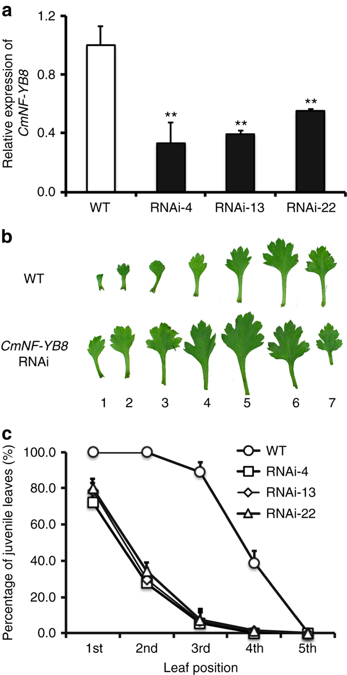 The juvenile vegetative phase of CmNF-YB8 -RNAi chrysanthemum plants. a Transcript abundance of CmNF-YB8 in wild type (WT) and CmNF-YB8 -RNAi plants determined by qRT-PCR. RNAi-4, -13, and -22 correspond to three independent CmNF-YB8 -RNAi lines. b Morphology of leaves of seven-leaf-old WT and CmNF-YB8 -RNAi chrysanthemum plants. Juvenile leaves were defined as small, with no, or minimal, marginal serration. c Percentage of juvenile leaves among the first five leaves in WT and CmNF-YB8 -RNAi chrysanthemum plants. Three independent experiments were performed and error bars indicate standard deviation. Asterisks indicate significant differences according to a Student's t test (** P