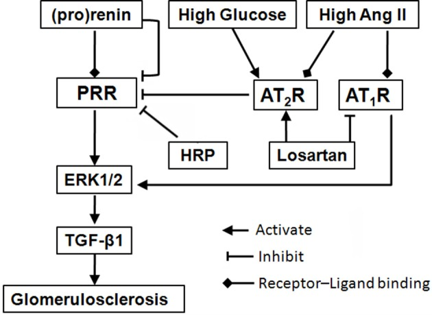 Schematic diagram of a proposed mechanism for blockade of (pro)renin/PRR activation as a therapeutic strategy. Binding of (pro)renin and PRR activates ERK1/2 signaling, resulting in the production of profibrotic factors in diabetic nephropathy, such as TGF-β1. During diabetes development, high glucose and Ang II, as well as high level (pro)renin, lead to a downregulation of PRR expression, through the mediation of AT 2 R (He et al., 2010 ) or PLZF (Schefe et al., 2006 ), indicating a negative feedback mechanism. But, the activation of the downregulated PRR still involes in the diabetic nephropathy development. Besides blocking AT 1 R, losartan plays renoprotective roles through further suppressing PRR via upregulation of AT 2 R. Moreover, HRP may enhance losartan's anti-fibrotic effects through further or fully inhibiting PRR. The present findings highlight blockade of PRR as a possible new addition therapy to AT 1 R blockade for DN. Abbreviations: Ang II, angiotensin II; AT 1 R, angiotensin II type 1 receptor; AT 2 R, angiotensin II type 2 receptor; ERK1/2, extracellular signal-regulated kinases 1 and 2; HRP, handle region peptide (HRP) of prorenin; PLZF, promyelocytic zinc finger; PRR, (pro)renin receptor; TGF-β1, transforming growth factor-β1.