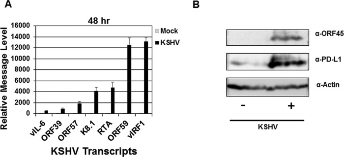 KSHV establishes lytic infection of human monocytes at 48 h postinfection. Human monocytes (5 × 10 6 monocytes/well) were infected with KSHV (8.7 × 10 7 genomes/well) for 48 h. At each time point, a mock-infected control was also harvested (A and B). (A) After harvest, RNA was isolated from cells and reverse transcribed, and cDNA levels were measured using quantitative real-time PCR to assess KSHV-encoded viral interleukin-6 (vIL-6), open reading frame 39 (ORF39), ORF57, ORF59, K8.1, viral interferon regulatory factor 1 (vIRF1), and replication and transcription activator (RTA) message levels as normalized to β-actin and represented as fold increase over mock-infected values. Error bars represent the standard deviations of fold change values for three technical replicates. (B) Immunoblot of KSHV viral protein ORF45 at 48 h postinfection. The data are representative plots of single experiments but represent the general trend of at least two (A) and four (B) independent donors and experiments.