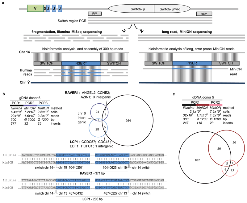 Validation of switch region inserts combining Illumina and MinION technologies. a, Illumina and MinION workflows. Switch regions of polyclonal naïve or IgG/IgA switched B cells were amplified by PCR. For Illumina sequencing, PCR amplicons were fragmented, re-amplified during library preparation and sequenced using the 2x300 bp MiSeq system. The bioinformatic analysis included the assembly of contiguous, chimeric reads. For insert confirmation, independently generated PCR-barcoded primary products were sequenced with MinION technology and analyzed with a different bioinformatic approach for long, error-prone MinION reads. b , Multiple identical switch inserts for donor 6 were confirmed in biological replicate experiments with independent technical and analytical setups. Shown are the experimental designs, shared and unique reads in a Venn diagram and an alignment of Illumina and MinION sequences covering the switch insertion sites for two examples ( LCP1, RAVER1 ). c , Shared and unique switch inserts in technical and biological replicate experiments of donor 5.