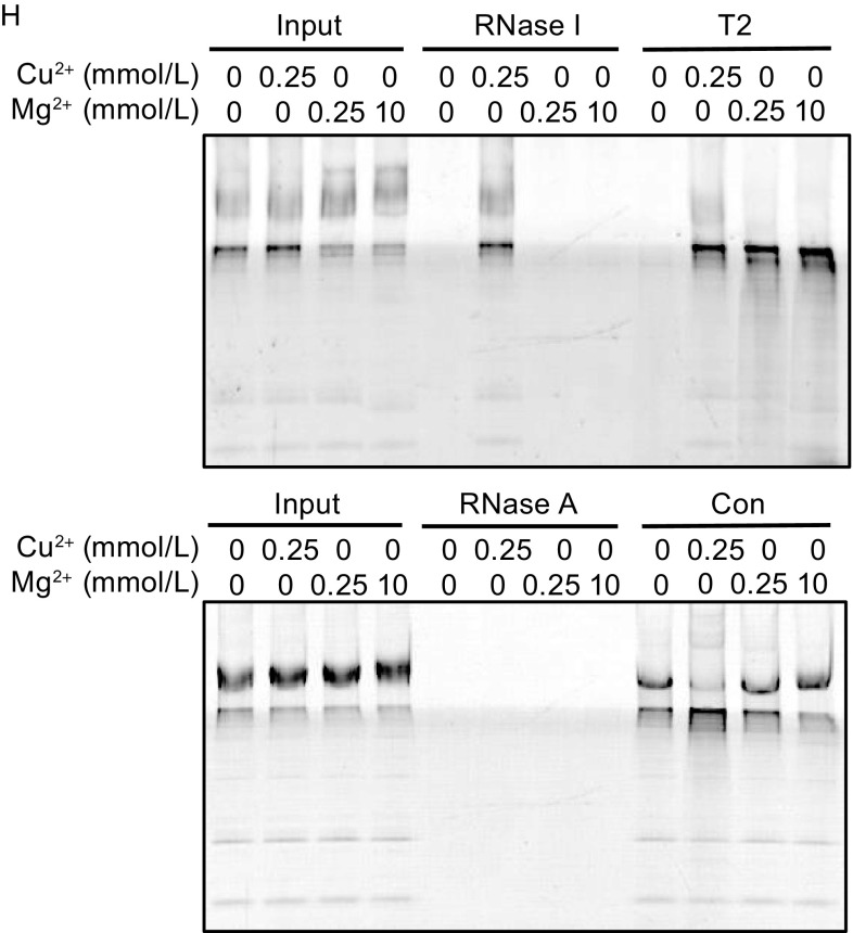 Characterization of RNASET2 purified from HEK mitochondria . (A) Dual-tag purification of RNASET2 (His and HA). Purification was performed using IMS from control HEK cells (C) or RNASET2-overexpressing cells (T2) under native condition. (B) Ribonuclease activity were examined in IMS samples and the purification samples (Eluate) from control HEK cells (C) or RNASET2-overexpressing cells (T2) using biotinylated UCP2 mRNA as a substrate. The sensitivity of these activities to Cu 2+ (0.5 mmol/L) and proteinase K (ProK) was also tested. (C) RNASET2 was purified from RNASET2-overexpressing mitochondria under denaturing condition and checked for ribonuclease activity using RNA purified from isolated mitochondria as substrates; C (control pulldown from HEK mitochondria) and T2 (RNASET2). (D) RNASET2s purified under native conditions and denaturing conditions had the same responses to proteinase K (ProK) and Cu 2+ treatment. Lower panel is a coomassie staining gel of mitochondrial lysates as a positive control for proteinase K treatment. (E) Effect of temperature on RNASET2 purified from HEK mitochondria, RNaseI, and RNaseA (50 ng). Degradation was performed at 37°C (the temperature used for the other experiments if not specified) or 25°C. RNAs purified from isolated mitochondria were used as substrates. Con (control pulldown from HEK mitochondria). (F) Effect of pH on RNASET2 purified from HEK mitochondria, RNaseI, and RNaseA. Degradation was performed at pH 7.4 (the pH used for the other experiments if not specified), pH 6.5 or pH 5.5. (G) Effect of ATP on RNASET2 purified from HEK mitochondria, RNaseI and RNaseA. (H) Effect of Mg 2+ and Cu 2+ on RNASET2 purified from HEK mitochondria, RNaseI and RNaseA