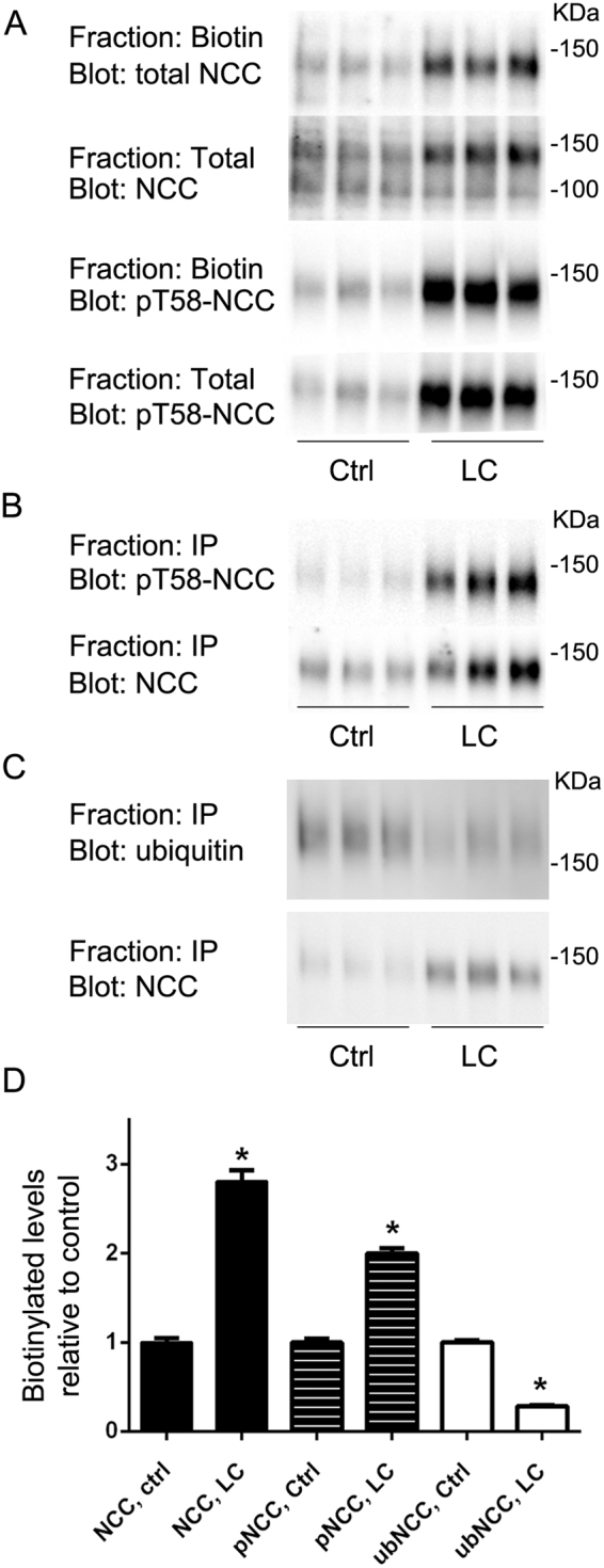 In MDCKI cells, hypotonic low chloride treatment significantly increases levels of total and phosphorylated hNCC at the apical plasma membrane and decreases levels of ubiquitylated hNCC. ( A ) Representative immunoblots of NCC and pT58-NCC in total or biotinylated pools isolated from MDCKI cells under control conditions (Ctrl) or following low chloride (LC) stimulation. ( B ) Representative immunoblots of NCC and pT58-NCC levels in samples immunoprecipitated (anti-FLAG-tag antibody) from the biotinylated pool of MDCKI cells under Ctrl or following LC stimulation. ( C ) Representative immunoblots of NCC and ubiquitylated NCC levels in samples immunoprecipitated (anti-FLAG-tag antibody) from the biotinylated pool of MDCKI cells under Ctr) or following low LC stimulation. ( D ) Semi-quantitative assessment of experiments. Biotin NCC levels are relative to total NCC levels. Biotin pT58-NCC levels are relative to total pT58-NCC levels. Ubiquitylated NCC (ubNCC) levels at the plasma membrane are relative to total NCC levels at the plasma membrane. Data were analyzed using an unpaired Student's t-test and presented as means ± S.E.M. ( n = 3–6). *Indicates significant difference compared to corresponding Ctrl conditions.