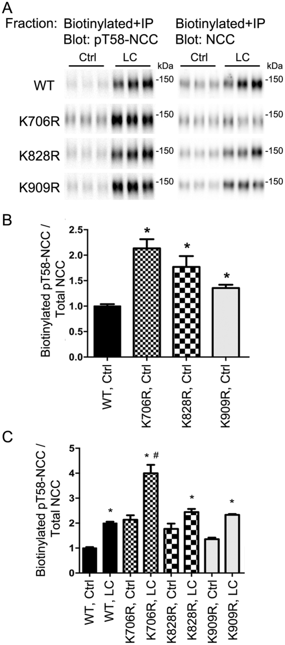 Mutation of K706, K828, and K909 residues in NCC increases membrane abundance of pT58-NCC when expressed in MDCKI cells. ( A ) Representative immunoblots of pT58-NCC and NCC in immunoprecipitated (anti-FLAG-tag) samples isolated from the apical biotinylated pool of various MDCKI cells under control (Ctrl) or low chloride (LC) conditions. ( B ) Semi-quantitative assessment of pT58-NCC levels at the plasma membrane under Ctrl conditions. Data were analyzed using one-way ANOVA followed by Tukey-Kramer multiple comparison test and presented as means ± S.E.M. ( n = 6–9) *indicates significant difference compared to WT-NCC under Ctrl conditions. ( C ) Semi-quantitative assessment of pT58-NCC levels at the plasma membrane under Ctrl or LC conditions. Data were analyzed using a two-way ANOVA followed by Tukey-Kramer multiple comparison test. Data are means ± S.E.M. ( n = 6–9) *indicates significant difference between LC and Ctrl conditions for individual cell line. # Represents significant difference compared to WT-NCC following LC stimulation.