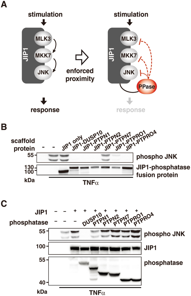 PTPN1 is a novel negative regulator of the JNK pathway. ( A) Schematic illustration of the screening method. Phosphatases were expressed as JIP1-phosphatase fusion proteins and a decrease in JNK signaling was monitored. (B) The decrease of JNK phosphorylation by JIP1-phosphatase fusion was examined by immunoblot analysis using an anti-dual phospho-JNK antibody. 293 T cells were incubated for 24 h after transfection, and then treated with TNFα (15 min). (C) Negative regulation of the JNK pathway by the analyzed phosphatases was confirmed by co-expression of individual phosphatases and JIP1. All experiments were performed at least three times.