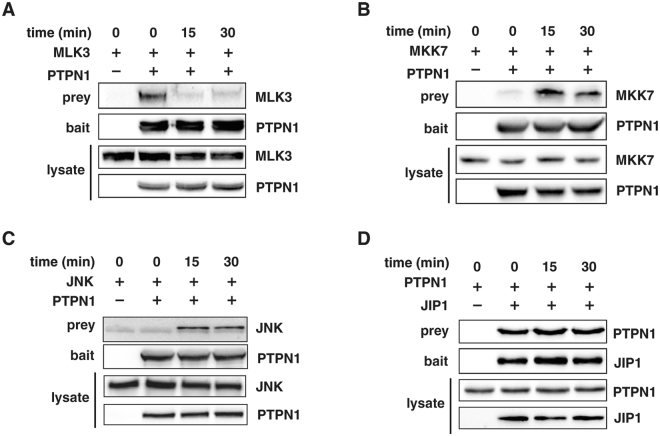 PTPN1 interacts with the components of the JNK pathway. PTPN1 interaction with (A) MLK3, (B) MKK7, (C) JNK, and (D) JIP1 was observed via immunoprecipitation assay. Each sample was prepared by TNFα-treatment at the indicated time-point. All experiments were performed at least three times.