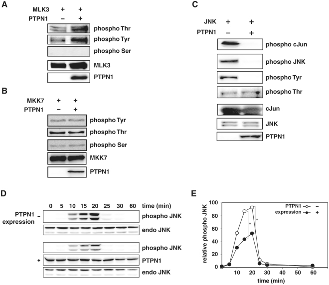 PTPN1 negatively regulates the JNK pathway via JNK dephosphorylation. ( A–C) Phosphorylation levels of each kinase were examined by immunoblot analysis. PTPN1 was incubated with phosphorylated form of (A) HA-MLK3 and (B) GST-MKK7. (C) Phosphorylated GST-JNK was incubated with PTPN1 (30 min, 37 °C), and then GST-cJun and ATP were added to perform a JNK kinase assay. (D) Flag-PTPN1 was expressed in 293 T cells. Control cells were transfected with an empty vector. After TNFα-stimulation, samples were prepared at the indicated time-points. JNK phosphorylation levels, with or without PTPN1 expression, were examined by immunoblot analysis using an anti-dual phospho-JNK antibody. (E) The density of immunoblotted bands detected using the anti-dual phospho-JNK antibody is plotted. (* p
