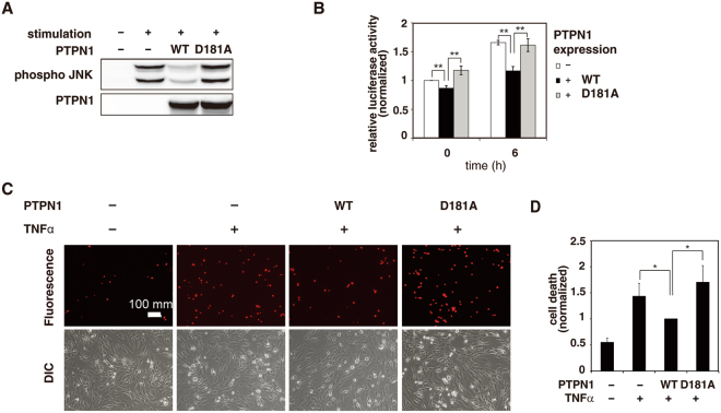 PTPN1 regulates JNK-related cell death response. ( A) Flag-PTPN1 or Flag-PTPN1 D181A was expressed in 293 T cells. Control cells were transfected with an empty vector. Upon TNFα-stimulation, protein expression and JNK phosphorylation were each examined by immunoblotting. (B) JNK activity was assessed using a luciferase reporter gene assay. The data are presented as the mean ± SD (repeats were performed in triplicate). (** p