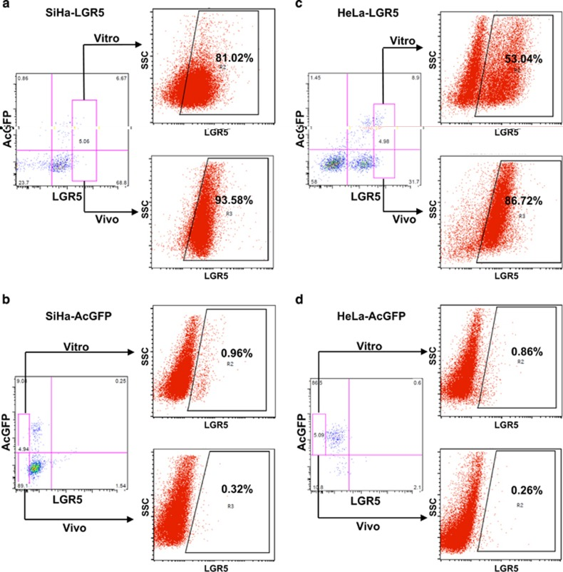 LGR5 + cervical cancer cells are capable of differentiating in vitro and in vivo . ( a – d ) LGR5 + and LGR5 − cells were isolated from LGR5-overexpressing SiHa and HeLa or control cells and cultured in DMEM medium supplemented with 10% FBS and 1000 μ g/ml G418 for 2 weeks in vitro . The xenograft tumor cells from LGR5 + and LGR5 − cells in vivo were digested by collagenase IV overnight before detection. The expression of LGR5 was analyzed by flow cytometry