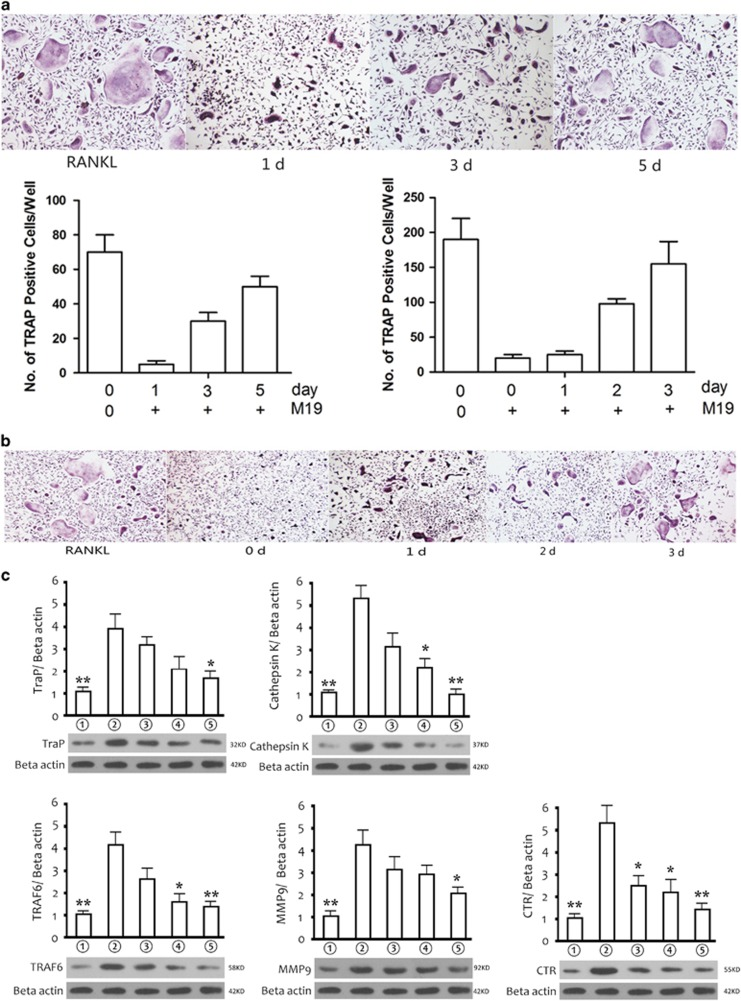 M19 inhibits osteoclastogenesis at early stage and inhibits expressions of osteoclastogenesis-related markers. ( a ) Effect of M19 on RANKL-induced primary osteoclast precursor differentiation at different stage. ( b ) Effect of M19 on RANKL-induced RAW264.7 cell differentiation at different stages. ( c ) Western blot and optical density analysis of expression of Trap, Cathepsin K, TRAF 6, MMP9 and CTR with Beta actin as reference. ①RAW264.7 cells; ② RAW264.7 cells induced with M-CSF, RANKL and PBS; ③ RAW264.7 cells induced with M-CSF, RANKL and treated with 1 μ M M19; ④ RAW264.7 cells induced with M-CSF, RANKL and treated with 2 μ M M19; ⑤RAW264.7 cells induced with M-CSF, RANKL and treated with 5 μ M M19 (* P