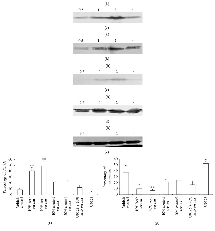Modulation of Kidney-replenishing herb on growth of the primary cultured human first-trimester trophoblast cells. To verify rapid activation of ERK1/2, cells were starved for 12 h, subjected to 10% or 20% of Kidney-replenishing herb treatments for 4 h. The phosphorylation of ERK1/2 was observed in response to Kidney-replenishing herb treatment ((a), (b)). The phosphorylation of ERK1/2 induced by 20% of control serum was also detected (c). The samples were controlled by immunoblot against ERK (d) and GAPDH (e). The primary cultured trophoblasts were starved with 1% FBS for 12 h and then treated with vehicle, 10% Kidney-replenishing herb, 20% Kidney-replenishing herb, 10% control serum, 20% control serum, and Kidney-replenishing herb combined with U0126 (30 mmol/l) or U0126 (30 mmol/l) alone, respectively, for 48 h. The percent of PCNA expression (f) or Annexin-V-FITC/PI staining (g) was observed by flow cytometry. ∗ p
