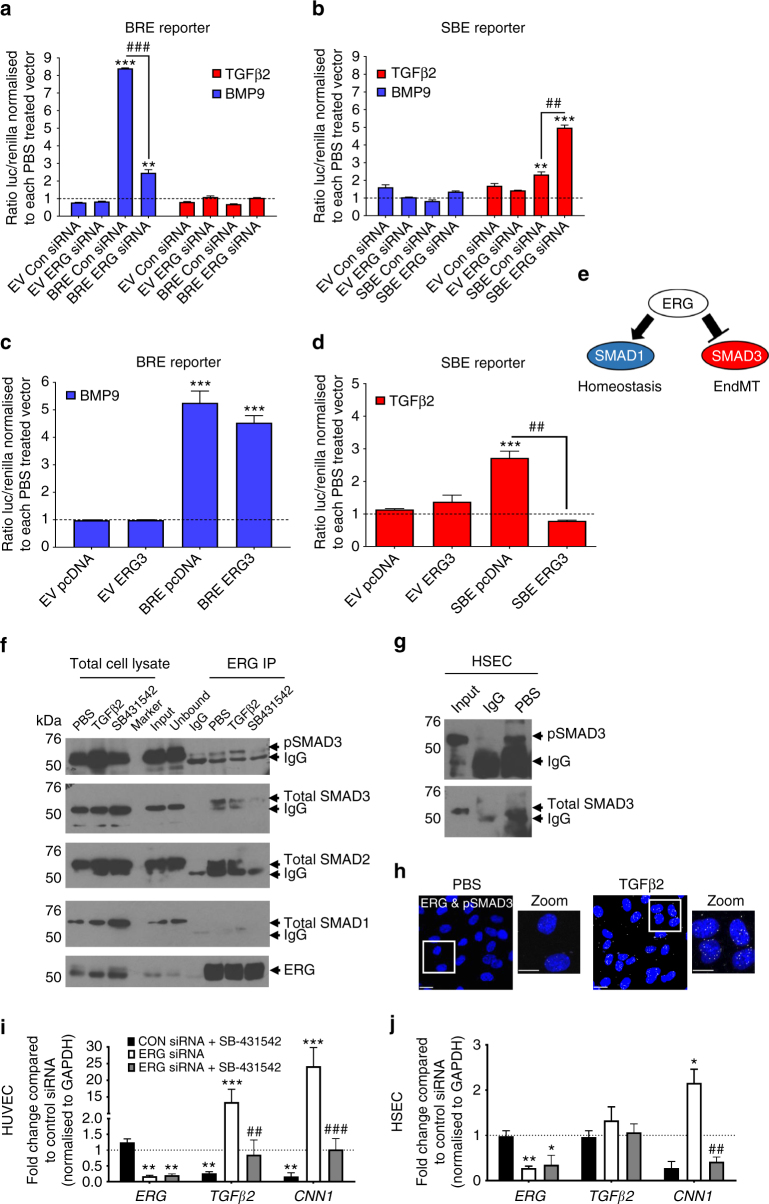 ERG differentially regulates transcriptional activity of SMAD1 and SMAD3. ERG-dependent regulation of SMAD1 and SMAD3 activity were assessed by transactivation assays using either SMAD1 reporter pGL3-BRE (BRE reporter, a and c ) or SMAD3 reporter pBV-SBE4 (SBE reporter, b and d ). HUVEC were either co-transfected with Control siRNA (Con siRNA) or ERG siRNA for 24 h ( a and b ) or with pcDNA or ERG3 overexpression construct (ERG3) ( c and d ) prior to treatment with TGFβ2 (red) and BMP9 (blue) or PBS (dashed line) for 18 h (data from pooled HUVEC in triplicate experiments). The ratio of luciferase to renilla from each transfection was normalised to PBS-treated control or to groups co-transfected with ( a and b ) Con siRNA or ( c and d ) pcDNA ( n = 3). e Schematic of the inverse regulation of SMAD1 and SMAD3 by ERG. f Protein−protein interactions between ERG, SMAD1, SMAD2 and SMAD3 were assessed by Co-IP assay in whole cell lysate from HUVEC. SB-431542 (SB; 10 μM) treatment was performed for 1 h and TGFβ2 (10 ng ml −1 ) or PBS treatments were performed 30 min prior to lysis. Lysates were immunoprecipitated with mouse IgG or mouse α-ERG and then immuno-blotted for α-ERG, α-SMAD1, α-SMAD2, α-SMAD3 and α-pSMAD3 (Ser423/425). Images representative of four experiments. g ERG-SMAD3 interaction was assessed by Co-IP in untreated HSEC. h Cellular localisation of the interaction between ERG with pSMAD3 was investigated by Proximity Ligation Assay (PLA) following 30 min TGFβ2 treatment in HUVEC ( n = 2). i HUVEC or j HSEC were pre-treated with SB-431542 or DMSO prior to transfection with either control siRNA or ERG siRNA for 48 h and analysed by qPCR ( n = 3). Data were normalised to GAPDH and compared to control siRNA treated (*) or to ERG siRNA treated with DMSO (#) by unpaired t -test. All graphical data are mean ± s.e.m., * or # P