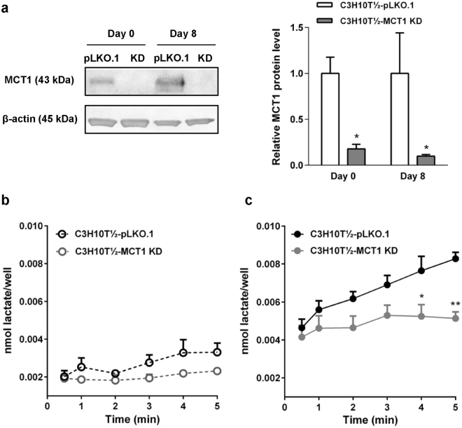 Lactate influx in C3H10T½ cells is attenuated by stable knockdown of MCT1. MCT1 was stably knocked down in C3H10T½ cells by <t>lentiviral</t> shRNA transduction as described in Materials and Methods. ( a ) Relative MCT1 protein levels in C3H10T½ cells expressing empty control plasmid (pLKO.1) or MCT1 shRNA (KD), at day 0 (undifferentiated) and day 8 after differentiation induction. β-actin is shown as loading control. Membranes were cut horizontally before blotting and edges slightly cropped for presentation. The bar chart shows mean data from 3 independent experiments, normalized to control values at day 0 and day 8. ( b ) Tracer measurements of lactate influx were carried out as described in the legend to Fig. 4 , and net influx calculated as nmol lactate ·well −1 before ( b ) and after ( c ) differentiation. The figure shows means with SEM error bars of 3 independent biological replicates for pLKO.1 (black symbols) and MCT1 KD (gray symbols) cells. *, **p