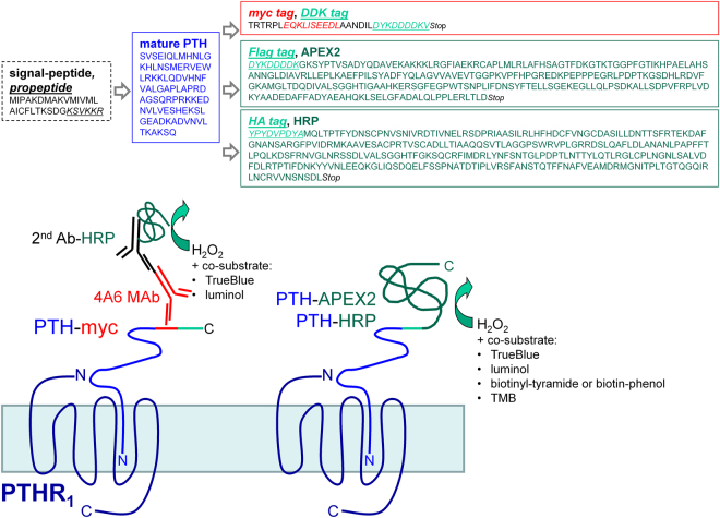 Schematic representation of the design of fusion proteins evaluated as potential PTHR 1 ligands. The fusion proteins evaluated in this paper consist of the full sequence of prepro-PTH 1–84 fused to the N-terminus of either a peroxidase (PTH-APEX2 or PTH-HRP) or an antigenic domain containing two epitopes (PTH-myc) recognized by commercially available monoclonal antibodies. The peroxidase domains, either covalently bound to PTH or assembled through antibodies, were detected using either a colorimetric substrate (TrueBlue™ or TMB), a luminescent substrate (luminol) or, alternatively, biotin-phenol or biotinyl-tyramide, peroxidase substrates whose oxidized states form covalent bonds leading to a proximal accumulation of biotin which can be detected by conjugated streptavidin molecules.