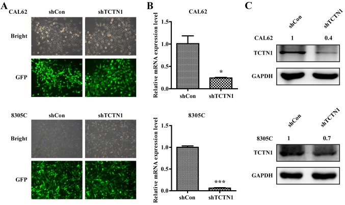 Knockdown of TCTN1 expression in thyroid cancer cells by shTCTN1. (A) Representative pictures of green fluorescent protein (GFP) expression recorded under a fluorescence microscope in CAL62 and 8305C cells. (B) <t>qRT-PCR</t> analysis of TCTN1 mRNA levels in CAL62 and 8305C cells following shCon or shTCTN1 infection. Data are expressed as mean ± SD of 3 independent experiments. *P