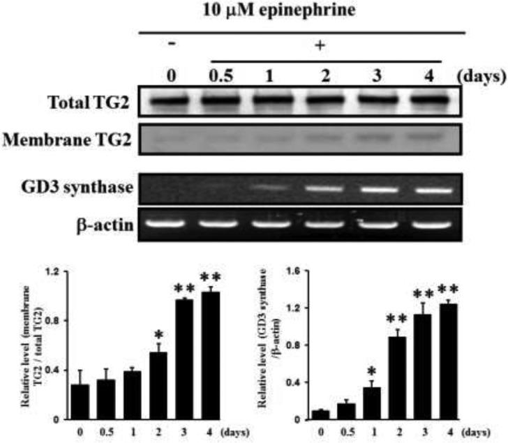 Increase in membrane recruitment of TG2 in response to epinephrine First, 50 μg of membrane proteins were isolated and subjected to 10% SDS-PAGE, as described in Experimental Procedures. TG2 expression levels were determined by Western blot analysis. RT-PCR analysis of GD3 synthase mRNA. Total RNAs were isolated from K562 cells after 0, 0.5, 1, 2, 3, or 4 days of treatment with 10 μM epinephrine. Then 1 μg of total RNA from each cell was subjected to RT-PCR. β-Actin indicates that equal amounts of RNA were loaded in each lane. Data are representative of three experiments (means ± SD). * P