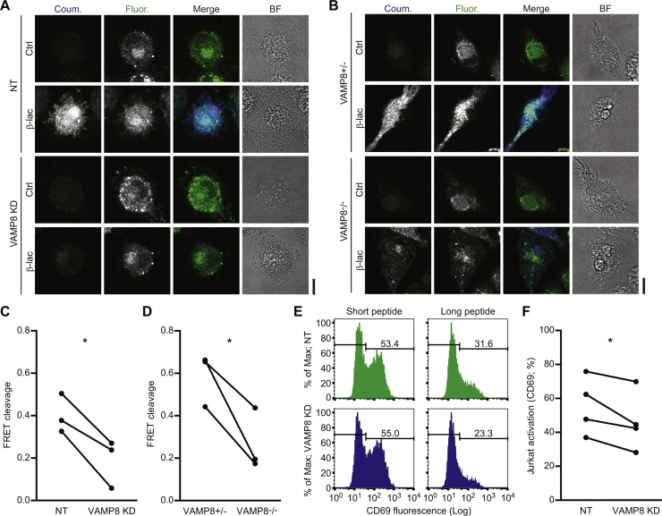 Antigen cross-presentation depends on VAMP8-mediated trafficking of NOX2. (A) Representative confocal microscope images of the CCF4 endosomal leakage assay for VAMP8 siRNA knockdown (VAMP8 KD) and non-targeting siRNA (NT) human DCs. The cytosolic FRET probe CCF4 was cleaved by exogenous β-lactamase (β-lac) resulting in a decreased ratio of fluorescein (acceptor fluorophore; green in merge) over coumarin (donor; blue) fluorescence. (B) Representative confocal microscope images as in panel A, but now for VAMP8-/- and VAMP8± mouse BMDCs. (C) Quantification of panel A. The graph shows the CCF4 cleavage efficiencies (see reference ( Dingjan et al., 2016 )) of DCs from 3 donors (linked by solid lines; p = 0.0312). (D) Same as panel C, but now for VAMP8-/- and VAMP8± mouse BMDCs (panel B; p = 0.0457). (E) Representative flow cytometry histograms of CD69 expression by Jurkat cells carrying a gp100-specific T cell receptor. The jurkat T cells were co-cultured with VAMP8 KD (blue) and NT (green) DCs that were loaded with short (residues 280–288; left-hand graphs) or long (residues 272–300; right) gp100 peptide. The percentages CD69-positive T cells are indicated in the graphs. (F) Quantification of T cell activation from panel E for 4 donors (p = 0.0461). Scale bars, 10 μm. (For interpretation of the references to colour in this figure legend, the reader is referred to the web version of this article.)