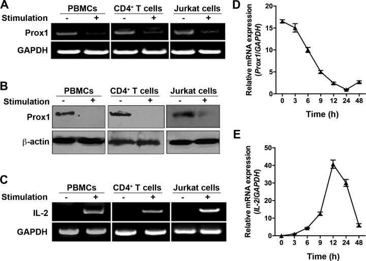 Expression of Prox1 mRNA and protein in T cells ( A, B and C ) PBMCs, naïve CD4 + T cells and Jurkat cells were isolated, and stimulated with PHA and anti-CD3/CD28 Dynabeads for 24 h respectively. (A) Prox1 and (C) IL-2 mRNA levels were measured by RT-PCR, while (B) Prox1 protein levels were assessed by Western blot. For (A), (B) and (C), the data represent one of three independent experiments. ( D and E ) Naïve CD4 + T cells were stimulated with anti-CD3/CD28 Dynabeads for indicated times. (D) Prox1 and (E) IL-2 mRNA levels were measured by real-time PCR. Gene expression is normalized against the amount of GAPDH mRNA. The data from represent the mean ± SEM of three experiments.